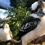 two laughing kookaburras at Moonlit Sanctuary Wildlife Conservation Park