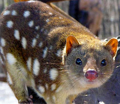 Endangered spot-tailed quoll at Moonlit Sanctuary Wildlife Conservation Park