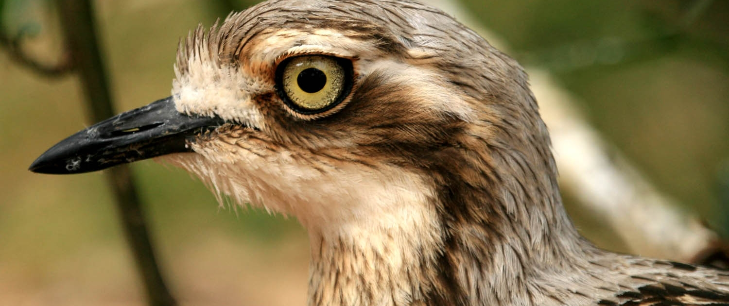 Endangered bush-stone curlew at Moonlit Sanctuary Wildlife Conservation Park