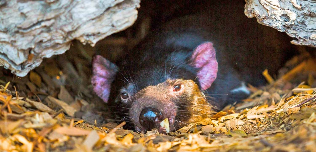 Tasmanian devil in log at Moonlit Sanctuary Wildlife Conservation Park