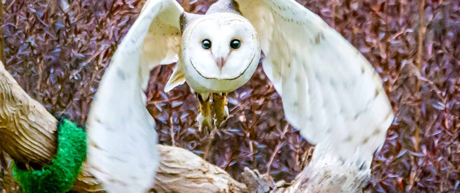 White barn owl in flight at Moonlit Sanctuary Wildlife Conservation Park