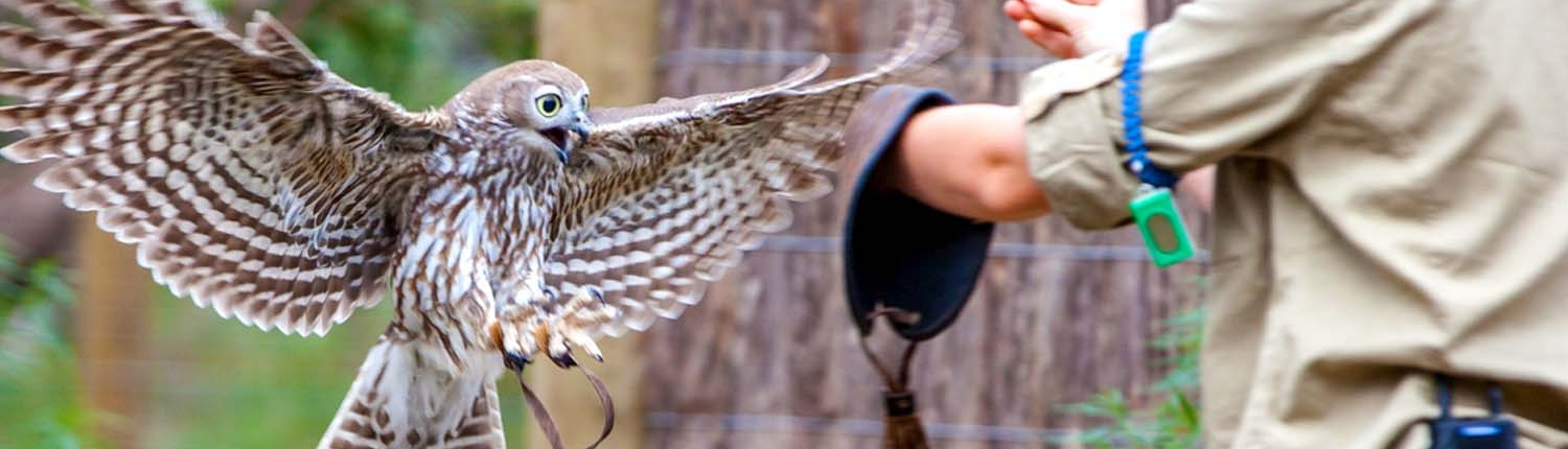 Barking owl in flight with trainer at Moonlit Sanctuary Wildlife Conservation Park