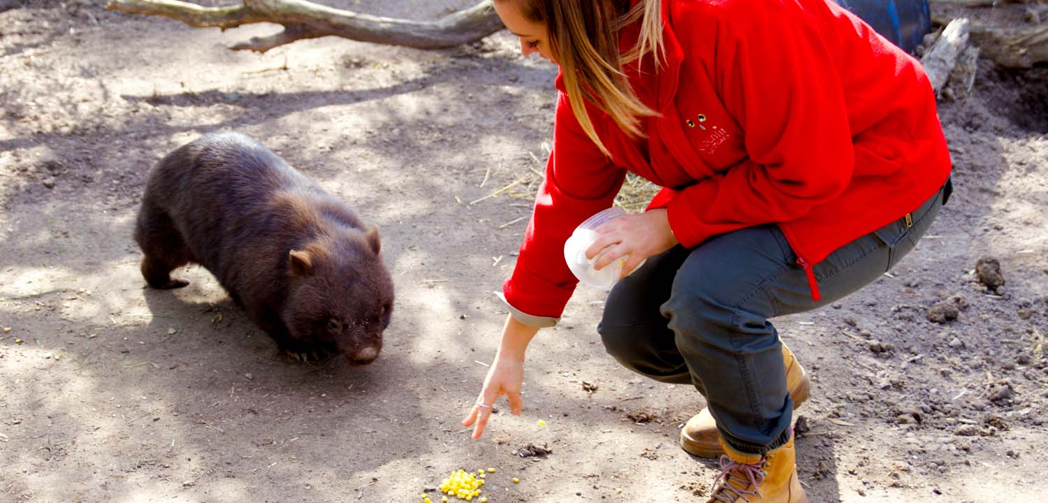 common wombat being trained at Moonlit Sanctuary Wildlife Conservation Park