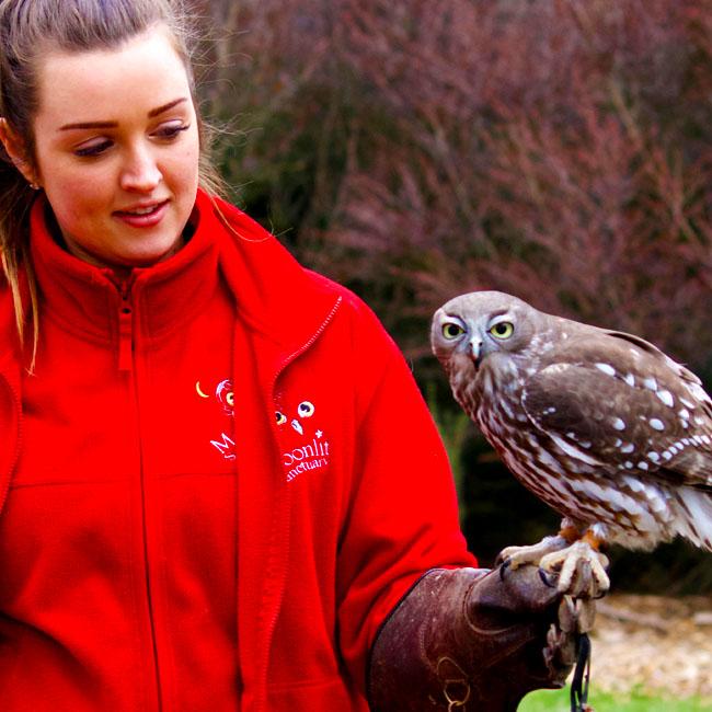Barking owl on glove at Moonlit Sanctuary Wildlife Conservation Park