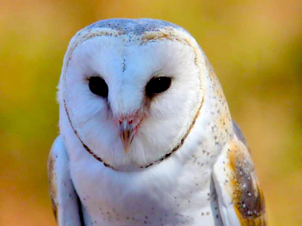 Barn owl at Moonlit Sanctuary Wildlife Conservation Park