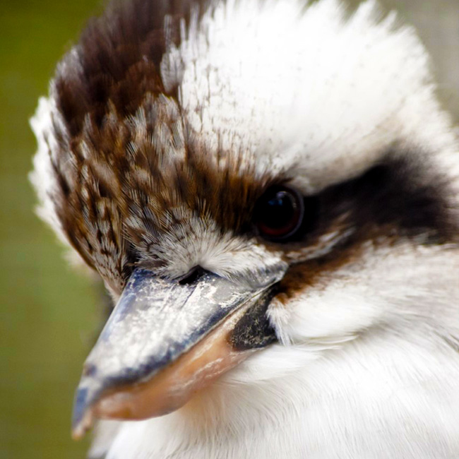 kookaburra at Moonlit Sanctuary Wildlife Park