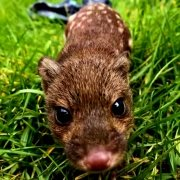 young spot-tailed quoll at Moonlit Sanctuary Wildlife Conservation Park