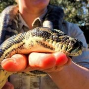 Python being held by keeper at Moonlit Sanctuary Wildlife Conservation Park