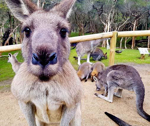 Eastern grey kangaroo at Moonlit Sanctuary Wildlife Park