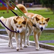 Dingoes walking on leads at Moonlit Sanctuary Wildlife Park