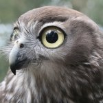 Barking owl at Moonlit Sanctuary Wildlife Conservation Park