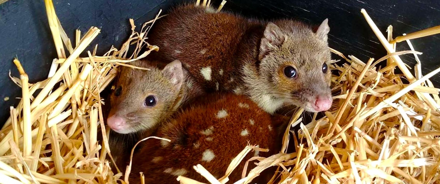 Quoll joeys at Moonlit Sanctuary Wildlife Conservation Park