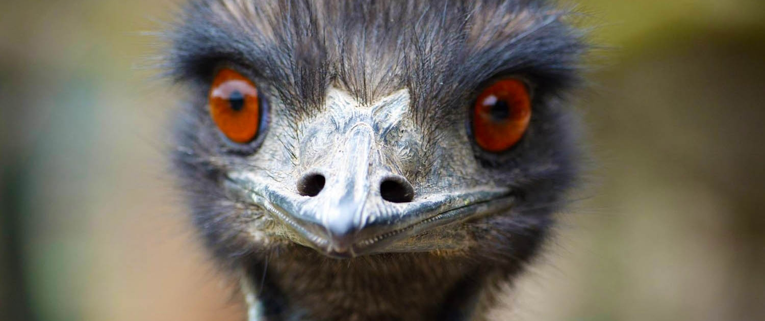 close up of emu at Moonlit Sanctuary Wildlife Conservation Park
