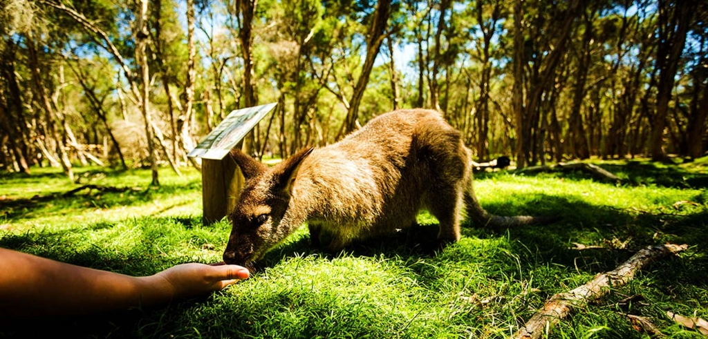 Hand feeding wallaby at Moonlit Sanctuary Wildlife Conservation Park