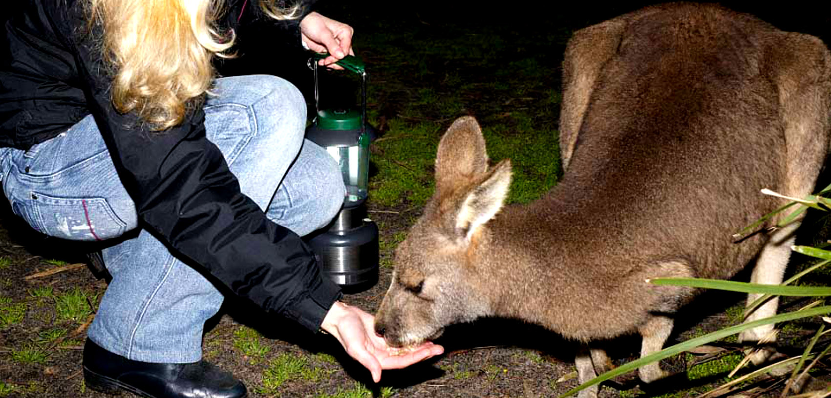 Kangaroo being hand fed on night tour at Moonlit Sanctuary Wildlife Conservation Park