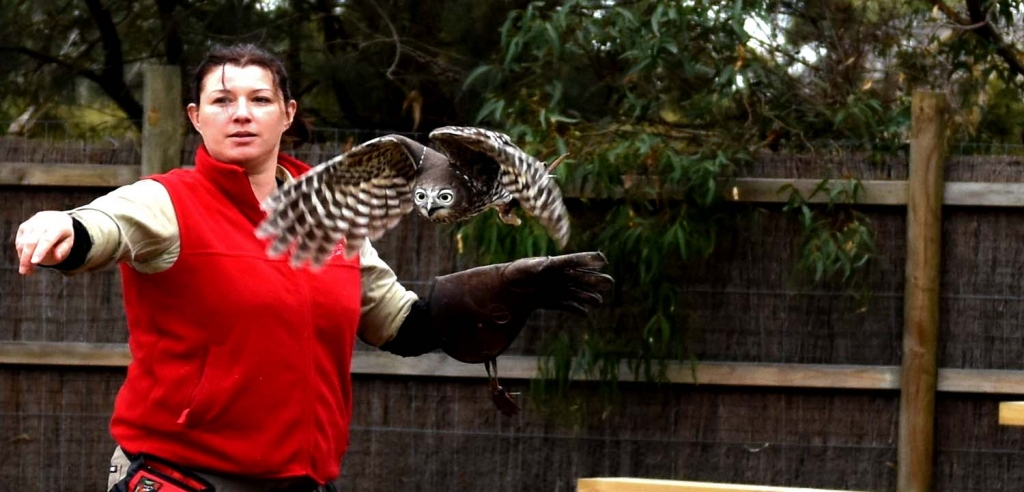 Barking Owl with trainer at Moonlit Sanctuary Wildlife Conservation Park