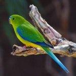 Orange-bellied Parrot from Moonlit Sanctuary's Conservation Program
