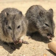 2 potoroos at Moonlit Sanctuary Wildlife Conservation Park