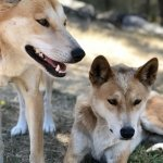 2 dingoes at Moonlit Sanctuary Wildlife Conservation Park