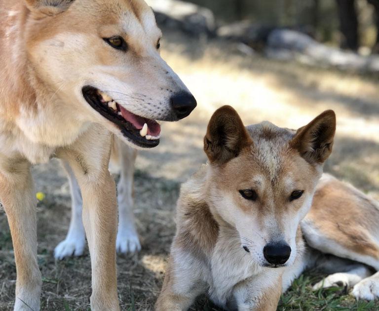 2 dingoes at Moonlit Sanctuary Wildlife Conservation Park