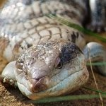 Eastern blue tongued lizard at Moonlit Sanctuary Wildlife Conservation Park