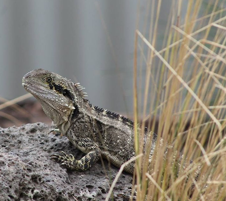 Eastern water dragon at Moonlit Sanctuary Wildlife Conservation Park