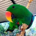 male eclectus parrot at Moonlit Sanctuary Wildlife Park
