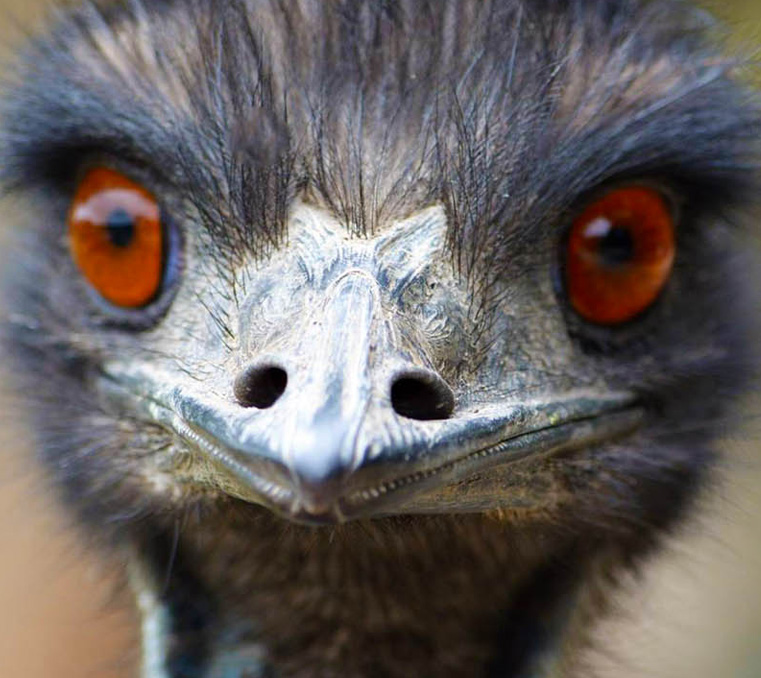 close up on an emu at Moonlit Sanctuary Wildlife Conservation Park