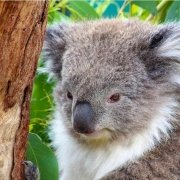 koala at Moonlit Sanctuary Wildlife Conservation Park