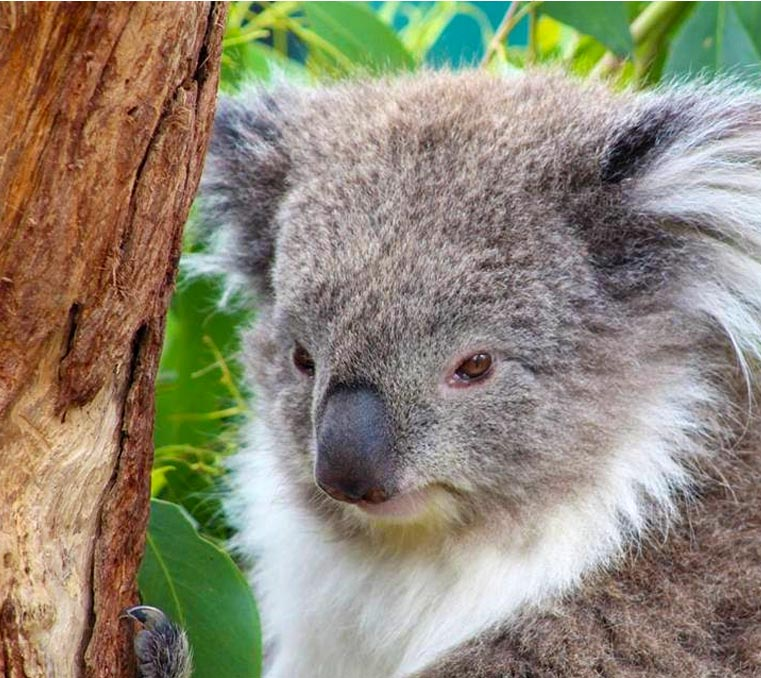 koala at Moonlit Sanctuary Wildlife Conservation Park
