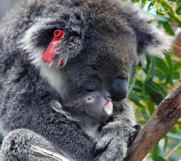 Koala with joey at Moonlit Sanctuary Wildlife Conservation Park