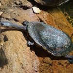 long-necked turtle at Moonlit Sanctuary Wildlife Conservation Park