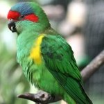 Musk lorikeet at Moonlit Sanctuary Wildlife Conservation Park
