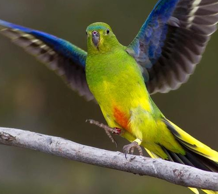 Critically endangered orange-bellied parrot at Moonlit Sanctuary Wildlife Park