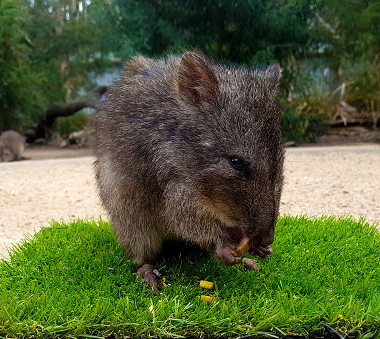 Long-nosed potoroo at Moonlit Sanctuary Wildlife Conservation Park