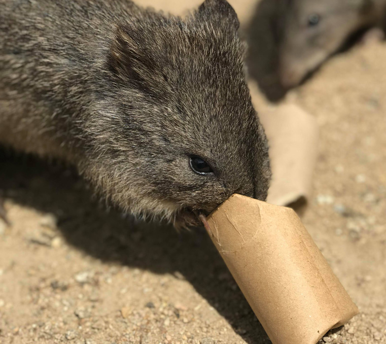 Long-nosed potoroo with enrichment at Moonlit Sanctuary Wildlife Conservation Park