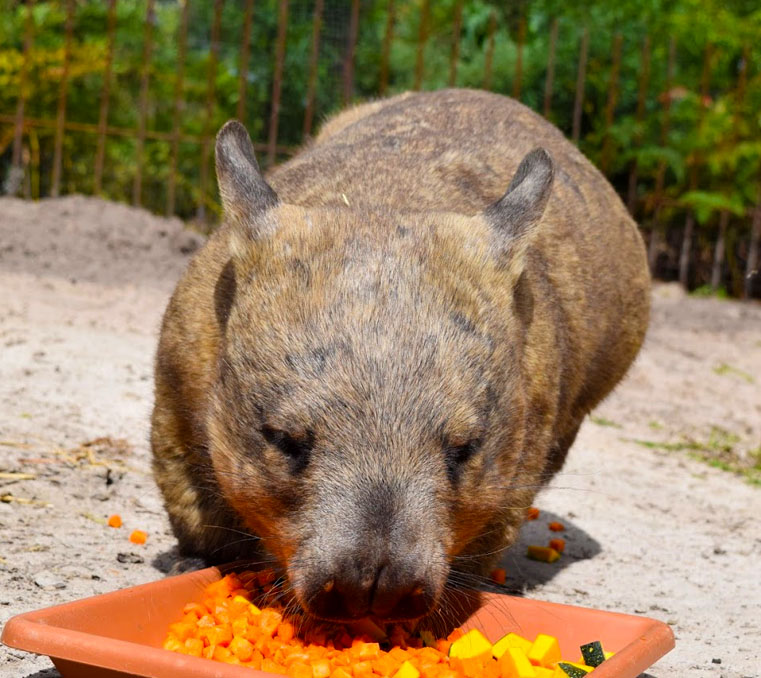 Southern hairy-nosed wombat eating at Moonlit Sanctuary Wildlife Conservation Park