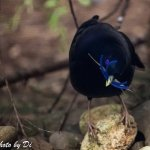 male satin bowerbird collecting blue material at Moonlit Sanctuary Wildlife Conservation Park