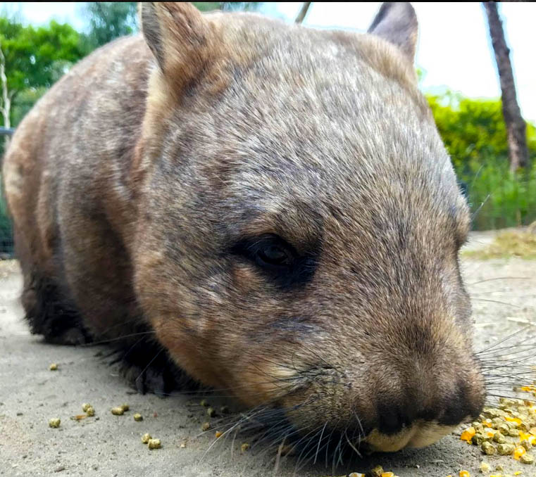 Southern hairy-nosed wombat at Moonlit Sanctuary Wildlife Conservation Park