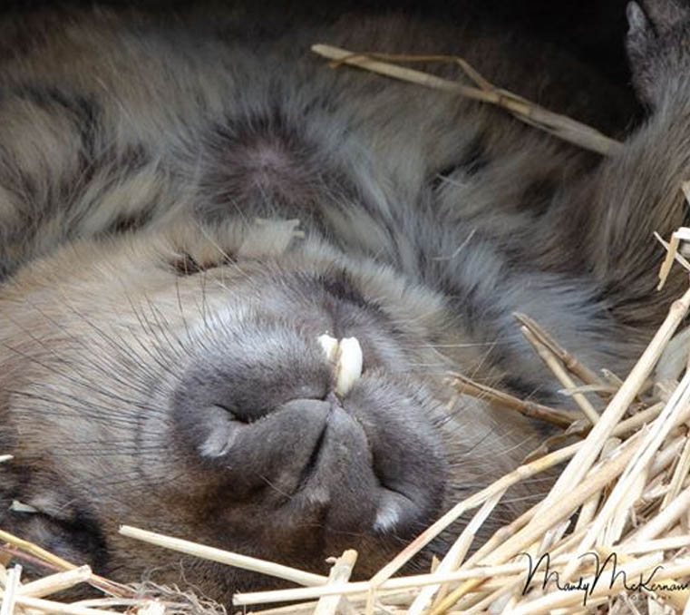 Southern hairy-nosed wombat sleeping at Moonlit Sanctuary Wildlife Conservation Park