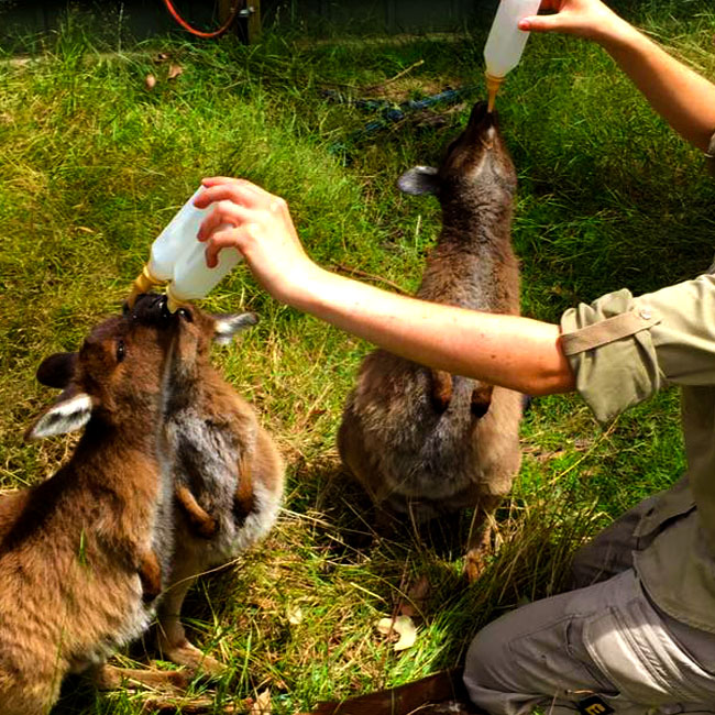 Wallaby joeys being bottle fed at Moonlit Sanctuary Wildlife Conservation Park