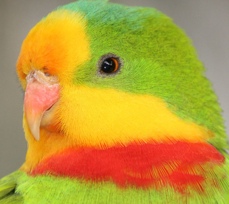 close up of a superb parrot at Moonlit Sanctuary Wildlife Conservation Park