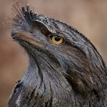 tawny frogmouth at Moonlit Sanctuary Wildlife Conservation Park