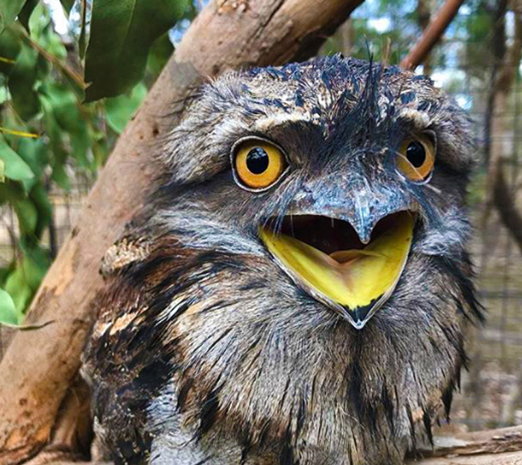 tawny frogmouth with open mouth at Moonlit Sanctuary Wildlife Conservation Park