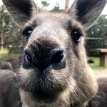 Eastern grey kangaroo close up at Moonlit Sanctuary Wildlife Park