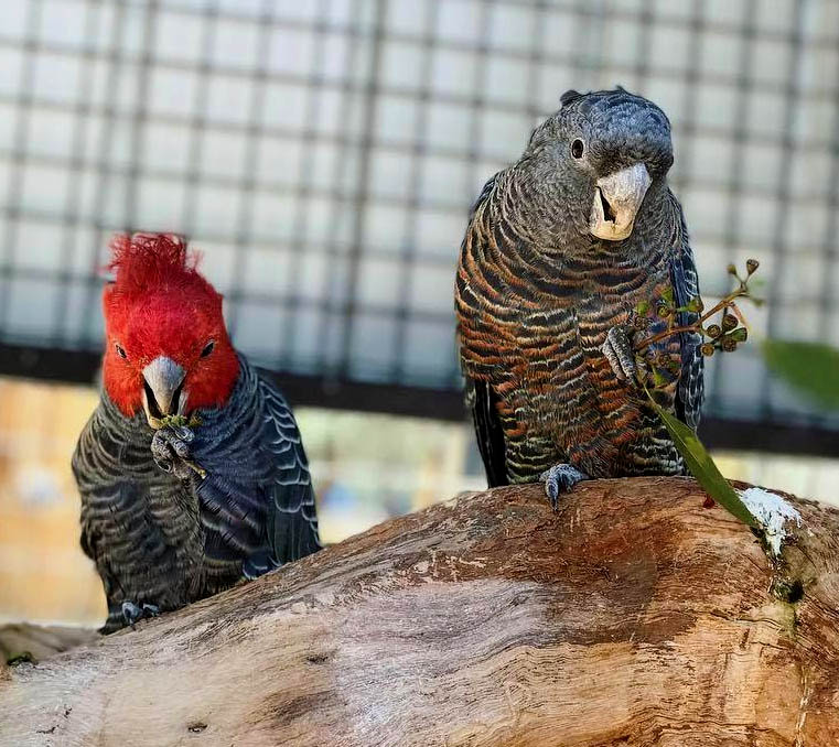 Male and female gang gang parrots at Moonlit Sanctuary Wildlife Park
