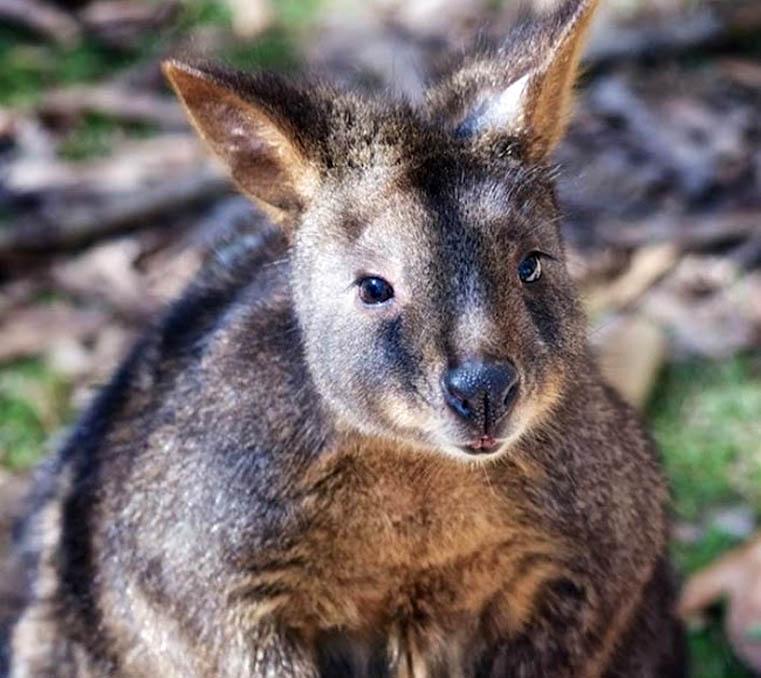 Close up of pademelon wallaby at Moonlit Sanctuary Wildlife Park