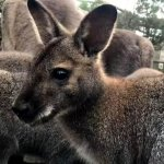 Kangaroo joey at Moonlit Sanctuary Wildlife Park