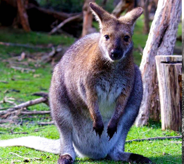Red-necked wallaby at Moonlit Sanctuary Wildlife Park