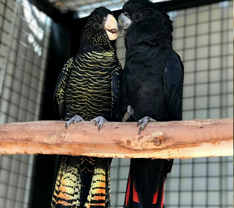 Pair of red-tailed black cockatoos at Moonlit Sanctuary Wildlife Park